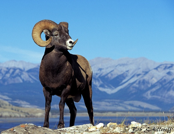Public Bighorn Photo 1.jpg