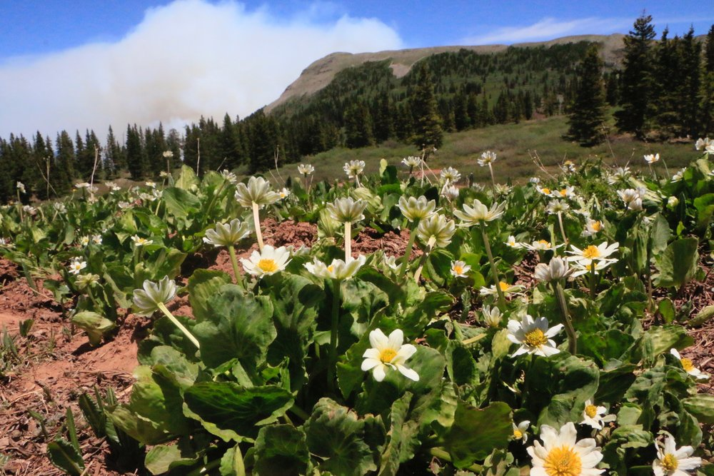 416 Fire with marsh marigolds in the foreground, photo by Priscilla Sherman