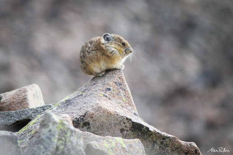 PikaNet    Pika live in a very specific habitat and are sensitive to rising temperatures and decreases in snowy insulation caused by climate change. Join the effort to map their habitat and presence across the Rocky Mountains.