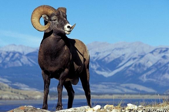 Bighorn Sheep Monitoring