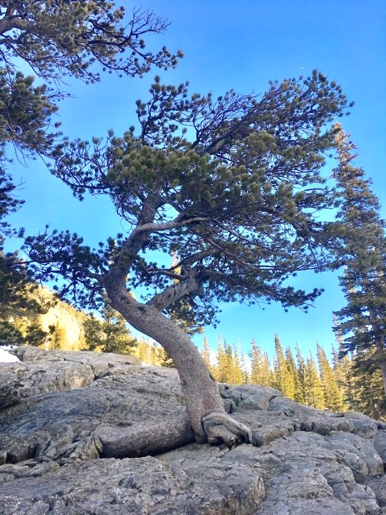 Limber pine tree on a rocky outcrop in Rocky Mountain National Park.
