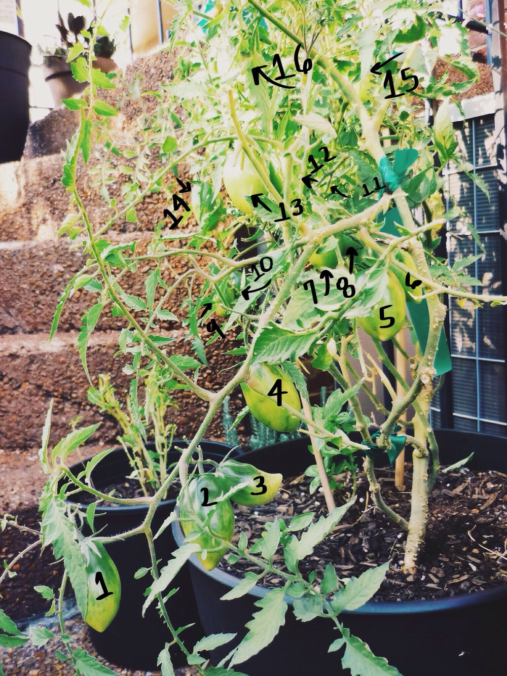 16tomatoes