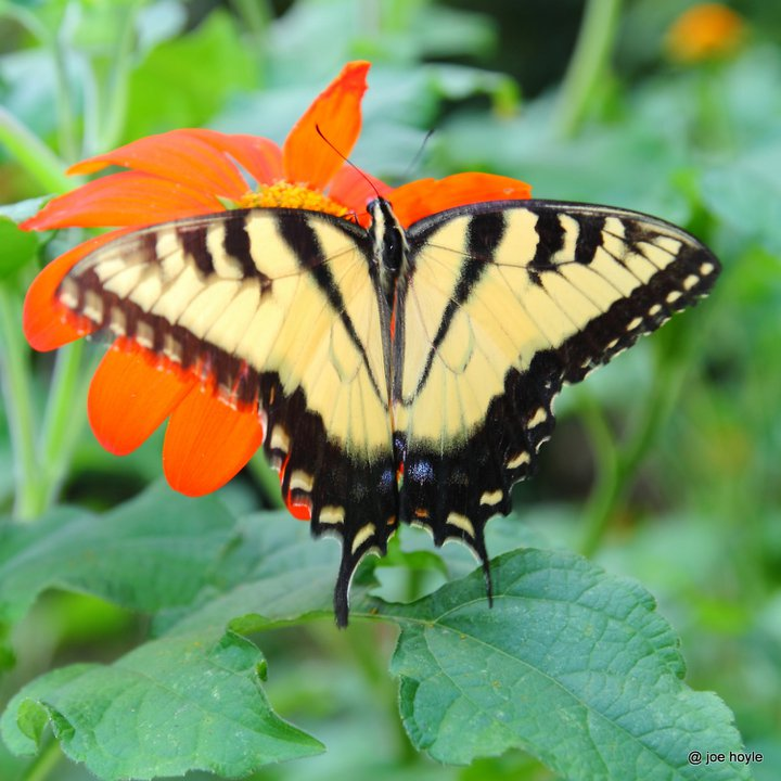 Tiger Shallowtail Butterfly
