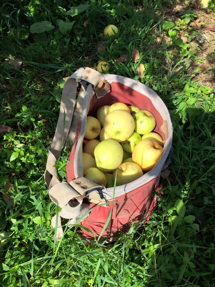 The Apples - Cathey Family Orchard, Mountain City GA