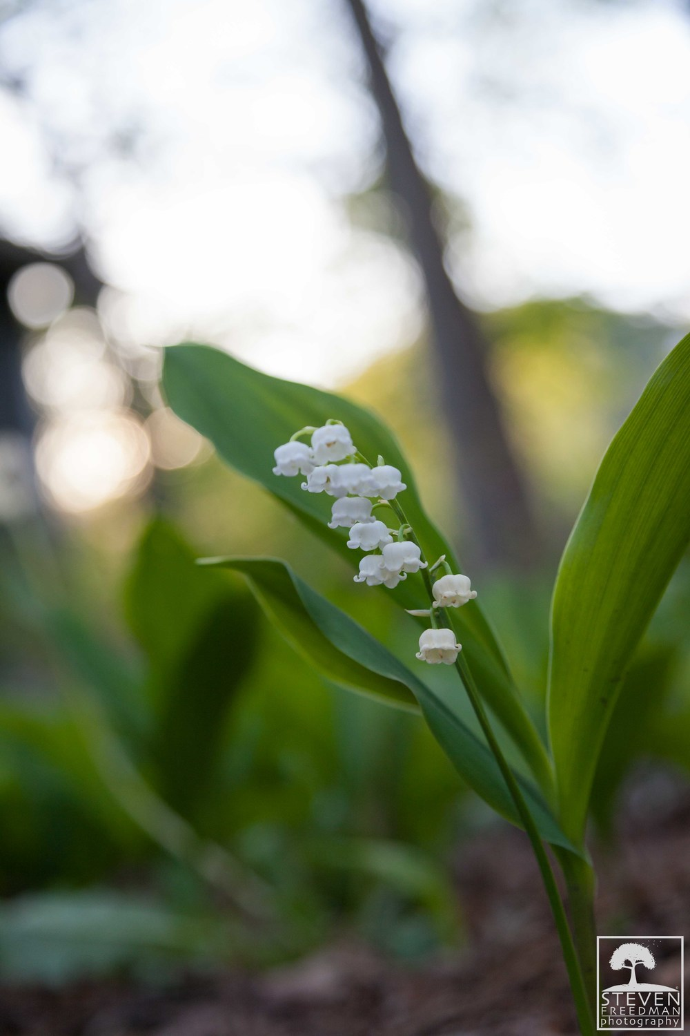 Lily of the Valley has to be one of the most fragrant flowers in the world