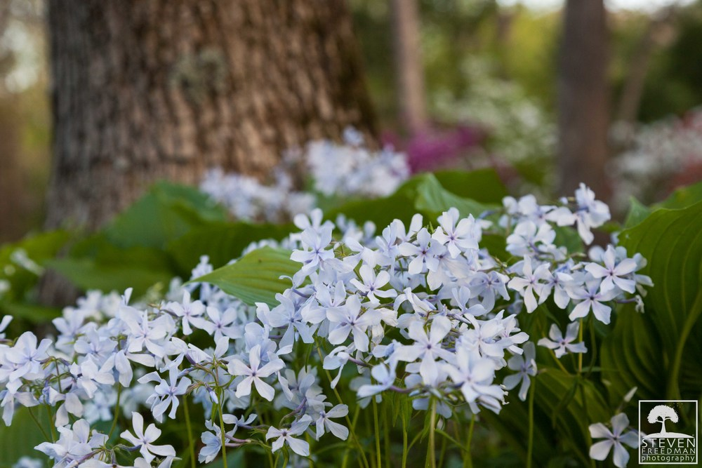 The delicate Native Phlox