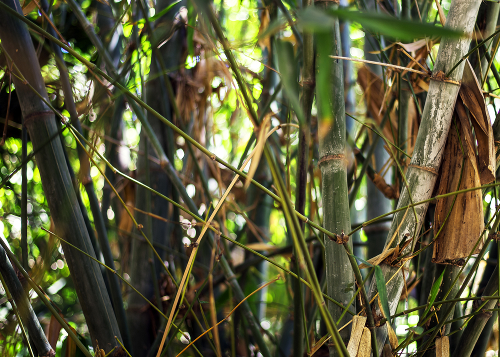 Grove (Bamboo)