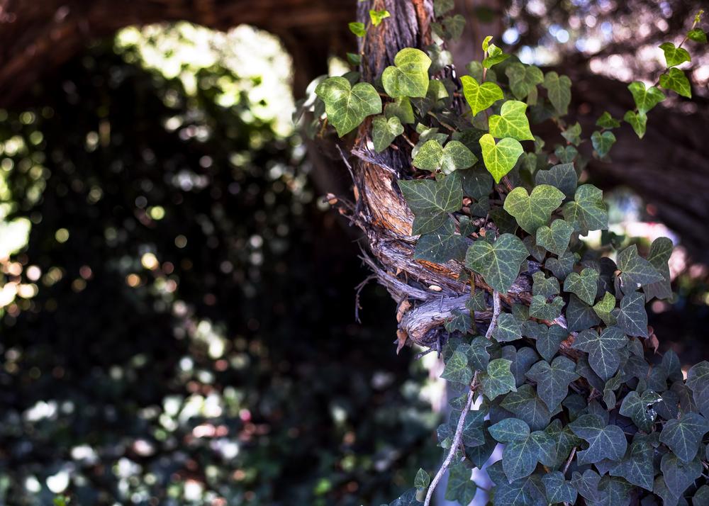 Grove (Ivy)