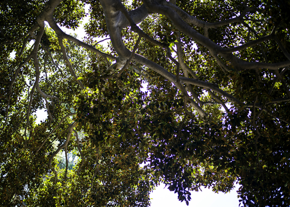 Shade (Moreton Bay Fig)