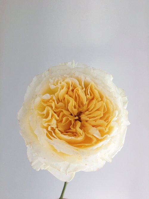 Beatrice Garden Rose