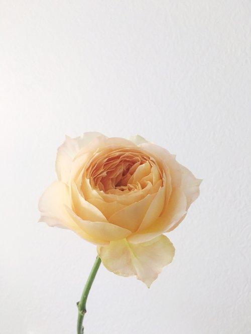 Caramel Antike Garden Rose