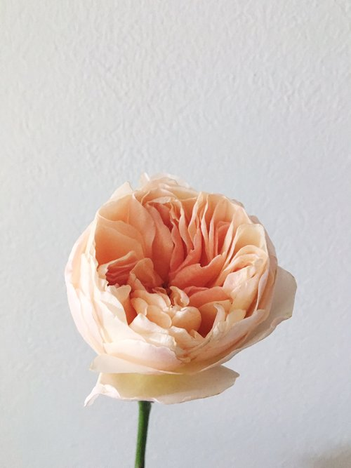 Juliet Garden Rose