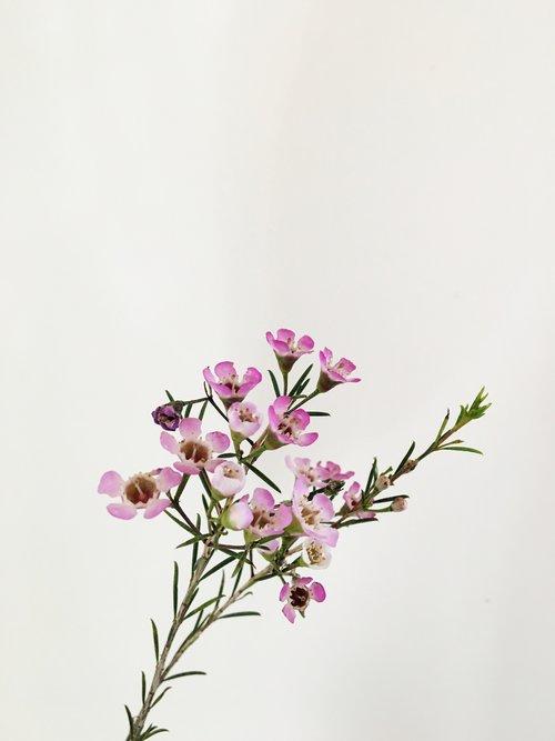 Wax Flower