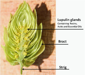 Half of a hop cone.  The lupulin is the clustered yellow powder.                 Photo from indiehops.com
