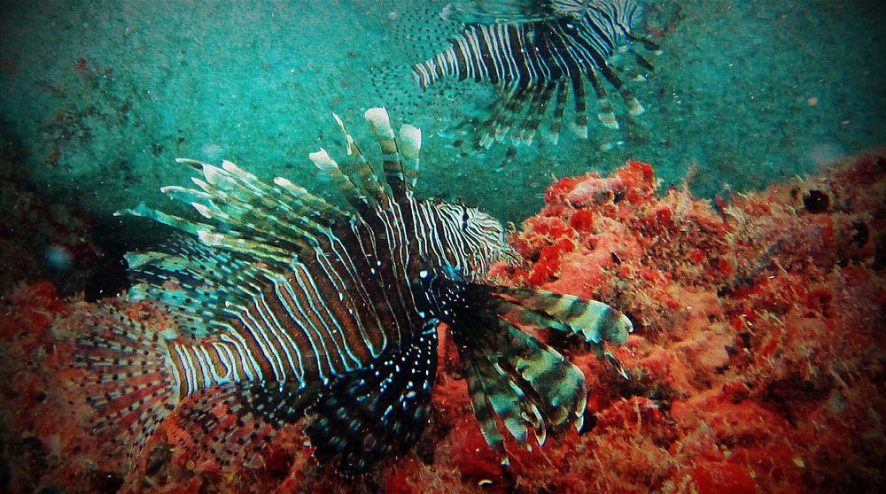 lion fish 2.jpg