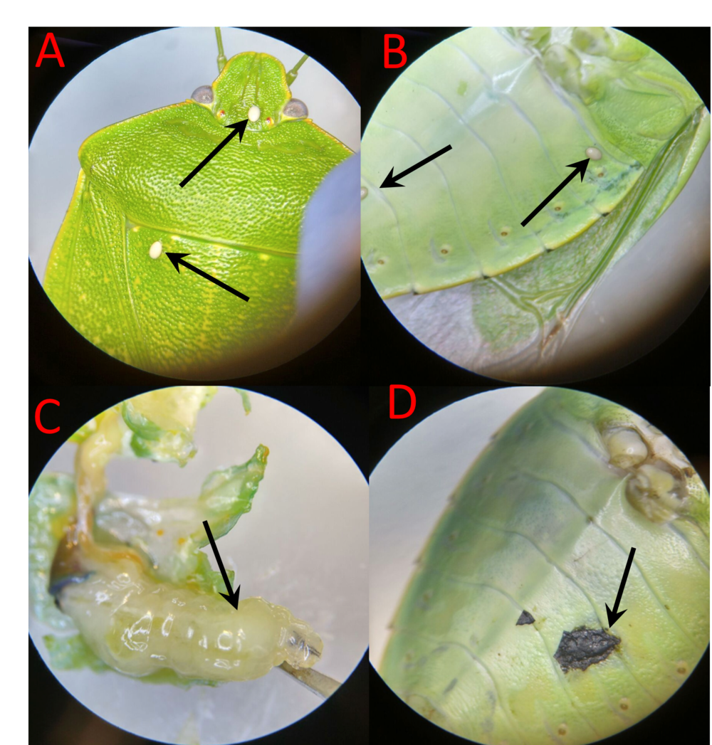 Figure 2 from Bakeer (2017). Stink bug parasitization and  E. coli  challenge: (A) Two  T. pennipes  eggs oviposited onto the dorsal side of  C. hilaris . (B) Two  T. pennipes  eggs oviposited onto the ventral side of  C. hilaris . (C) A live  T. pennipes  larva that was dissected out of a stink bug 13 d post-oviposition. (D) Melanization of the needle injection site between the second and third body segments on the left, ventral side of a stink bug.