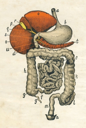 digestive-organs.jpg