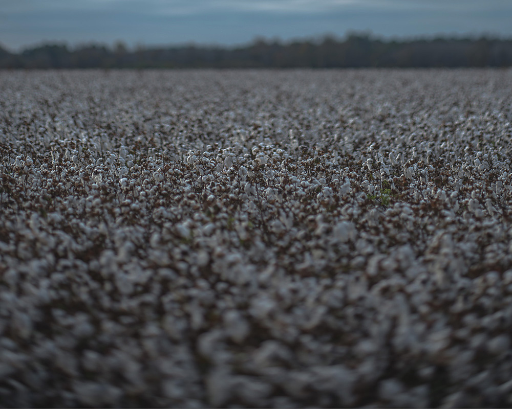 """...a blur of cypress past the cotton field..."""