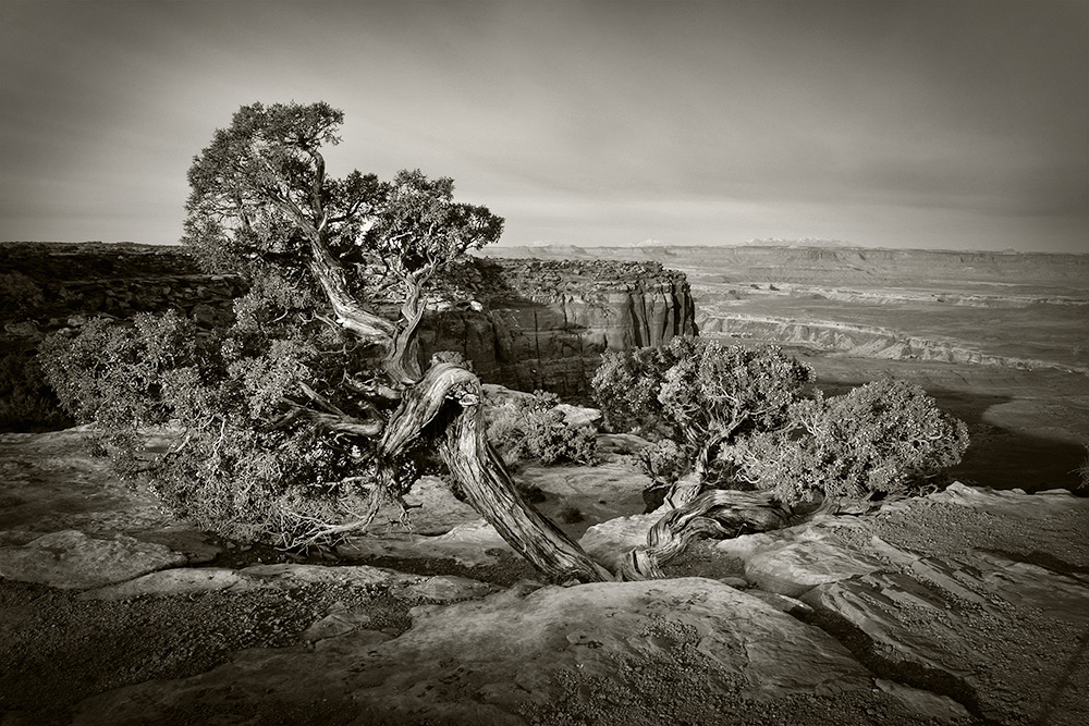 Canyonlands Juniper flattened.jpg