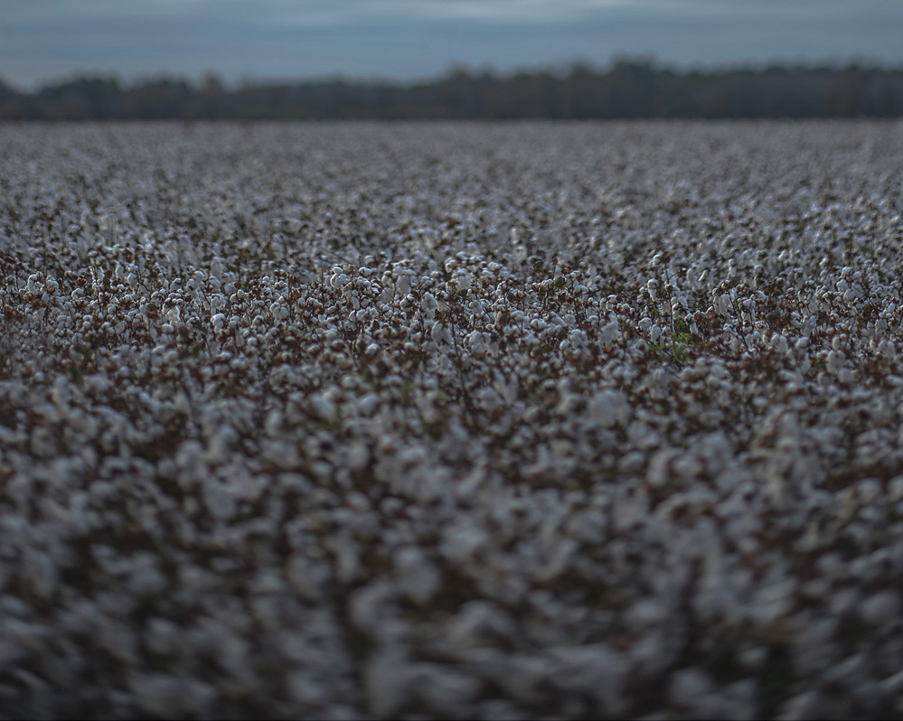 Mark Mosrie,  Cotton Field
