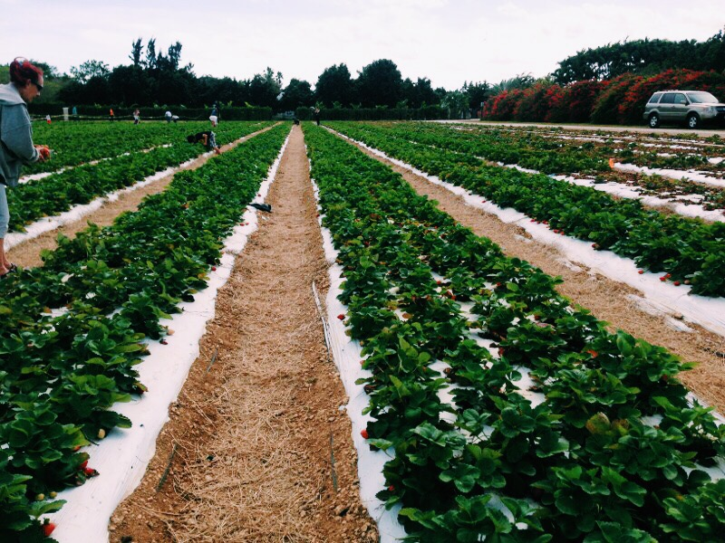 Planning a day-venture anywhere: Strawberry picking farm