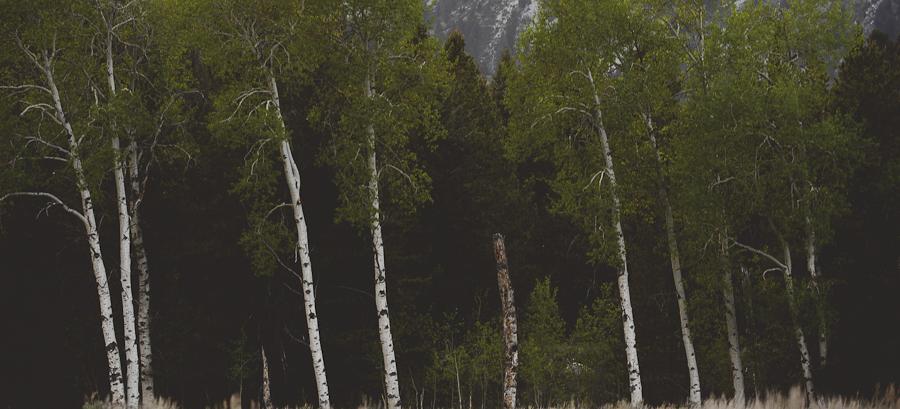 aspen trees grand teton national park