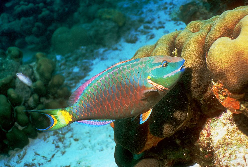This spotlight parrot fish(Sparisoma viride)was spotted grazing on coral near the island of Bonaire in the Caribbean.