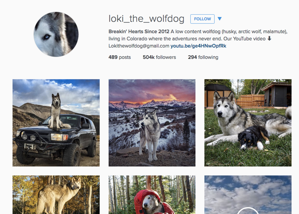 Social media frenzy with wolfdogs