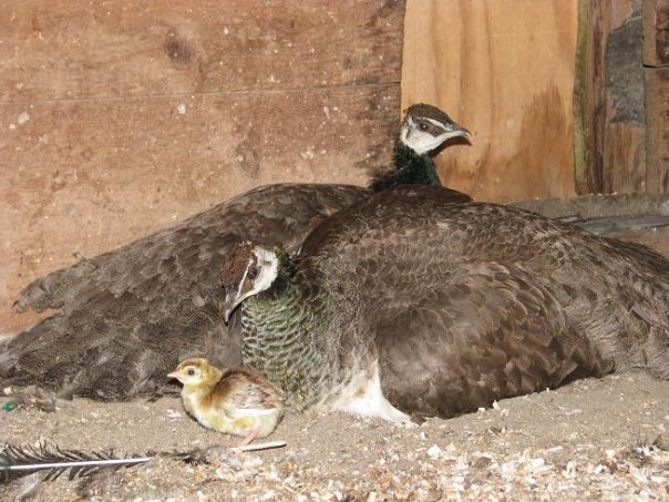 Two peahens with a peachick.