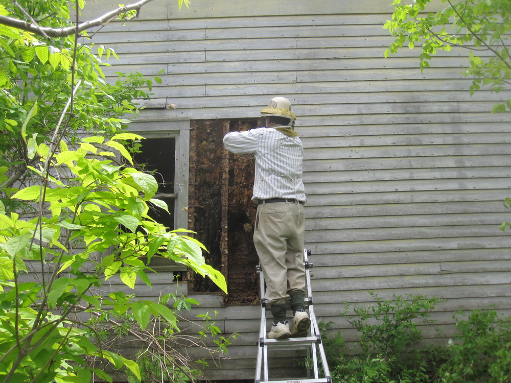 In this picture, Dad has ripped the siding from an old house and is working at removing the bees that have taken up residence inside. This ended up being 2 colonies and an 8-hour job.