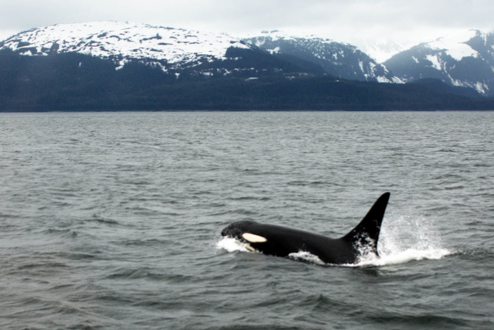 This is an orca. (Picture from Morguefile.) An orca can weigh up to 6 tons (that's 12,000 pounds!!!) and be 23 - 32 feet long. That's as big as a school bus.