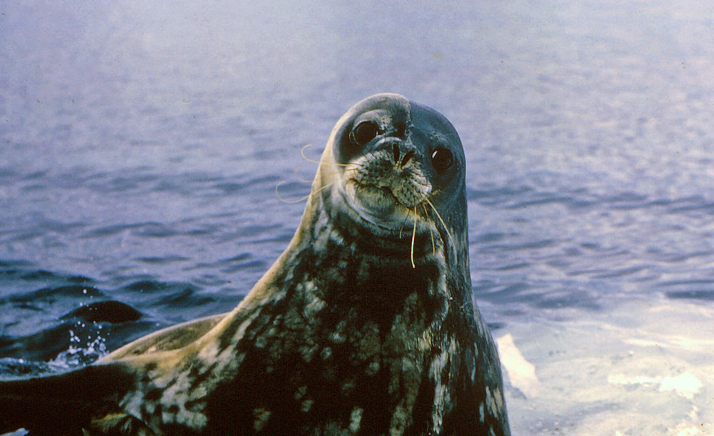 This is just a really cute Weddell seal, also from Dick's book.