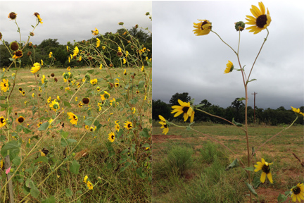 Sunflowers of late September. (Photos by Jaz Primo, Sept. 2014)