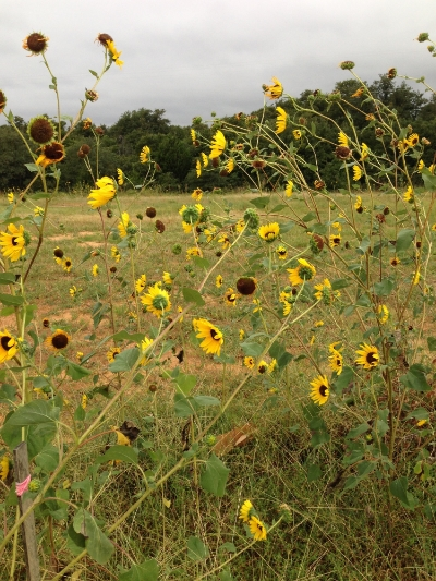 Sunflowers of late summer. (Photo by Jaz Primo, Sept. 2014)