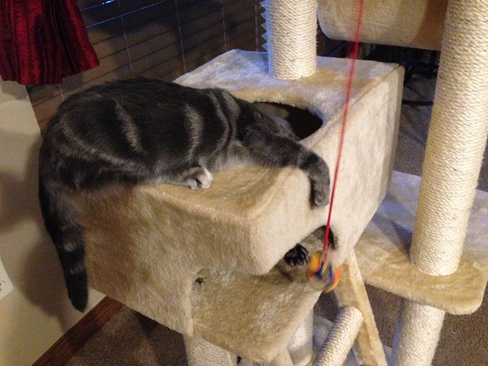 (Tabby Playing on Her Cat Tree -- PHOTO COPYRIGHT 2014 BY JAZ PRIMO)