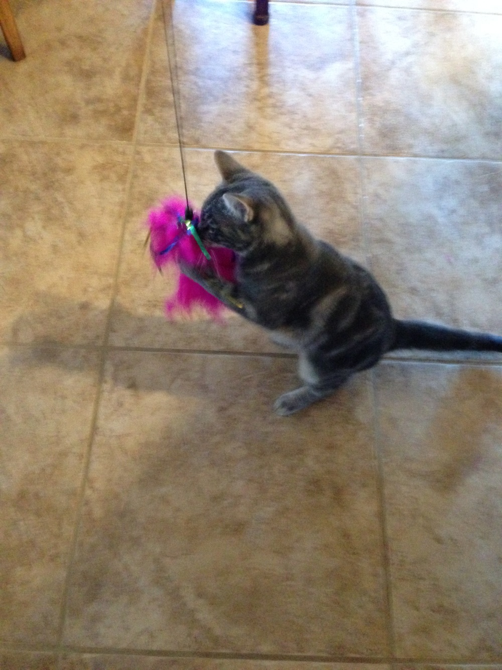 Tabby Playing with Her Toy -- (PHOTO COPYRIGHT 2014 BY JAZ PRIMO)