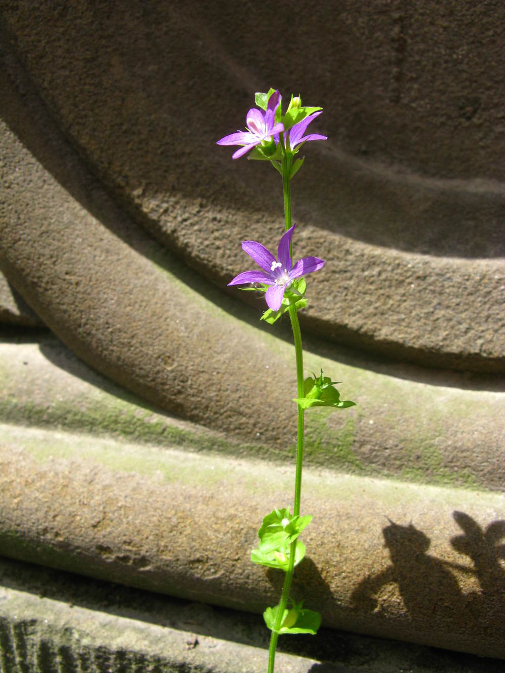 Triodanis perfoliata Campanulaceae