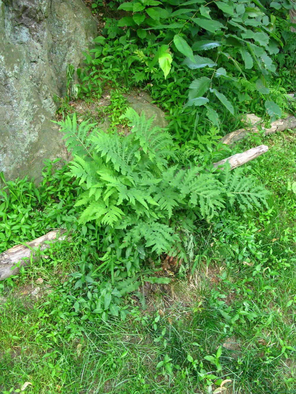 Onoclea sensibilisOnocleaceae