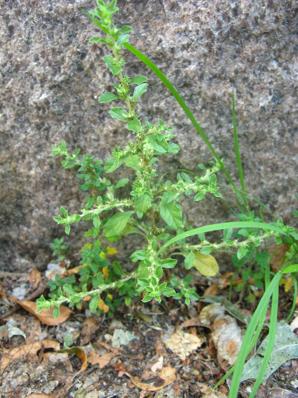 Amaranthus albusAmaranthaceae