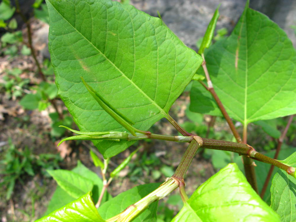 Fallopia japonica Polygonaceae