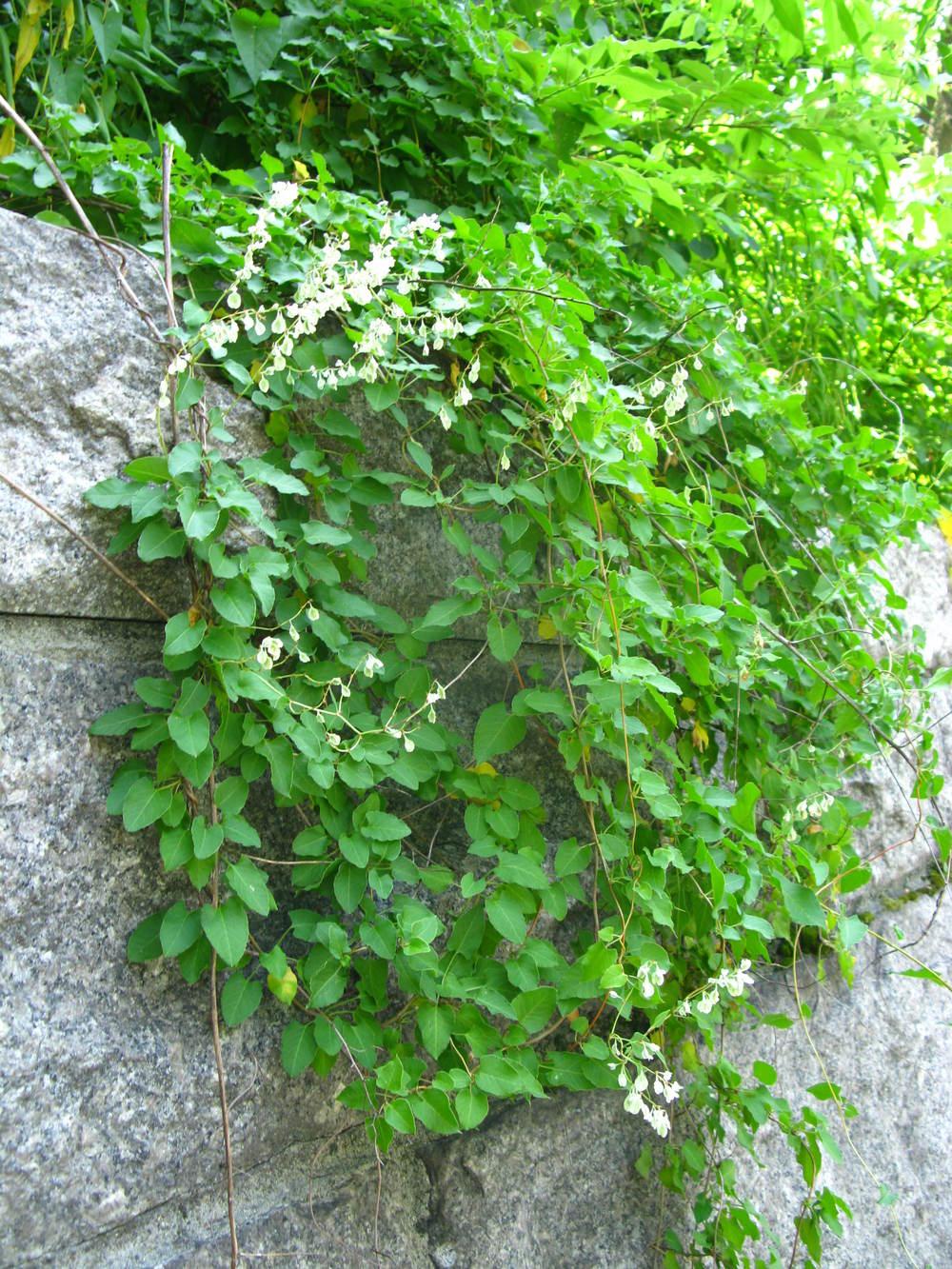 Fallopia baldschuanica  Polygonaceae