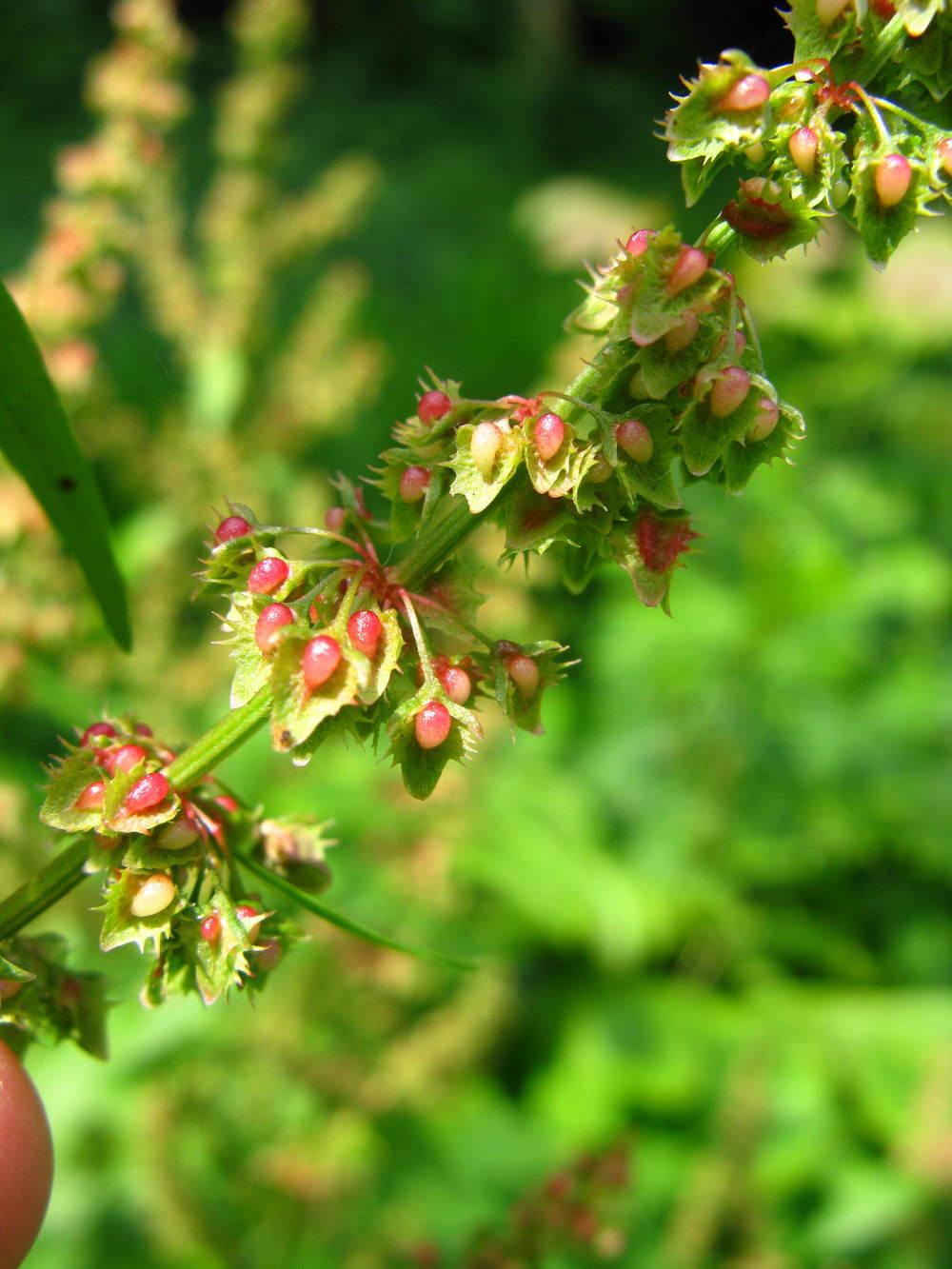 Rumex crispusPolygonaceae