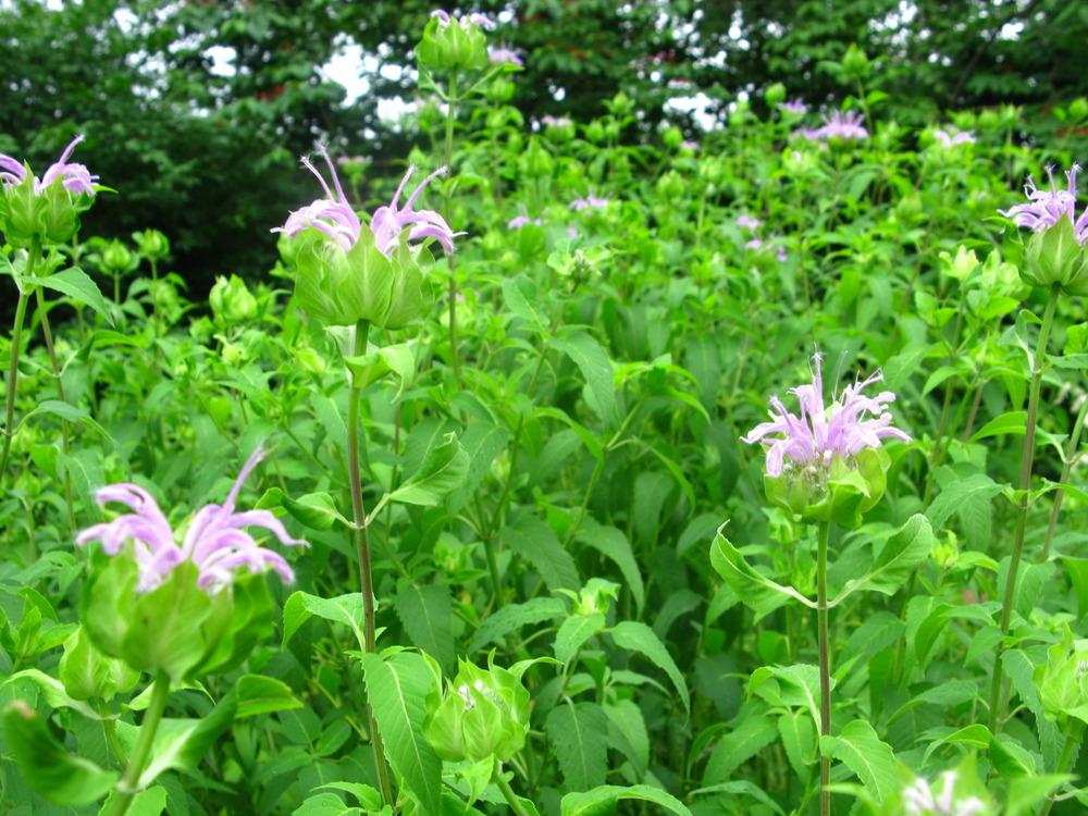 Monarda fistulosa Lamiaceae