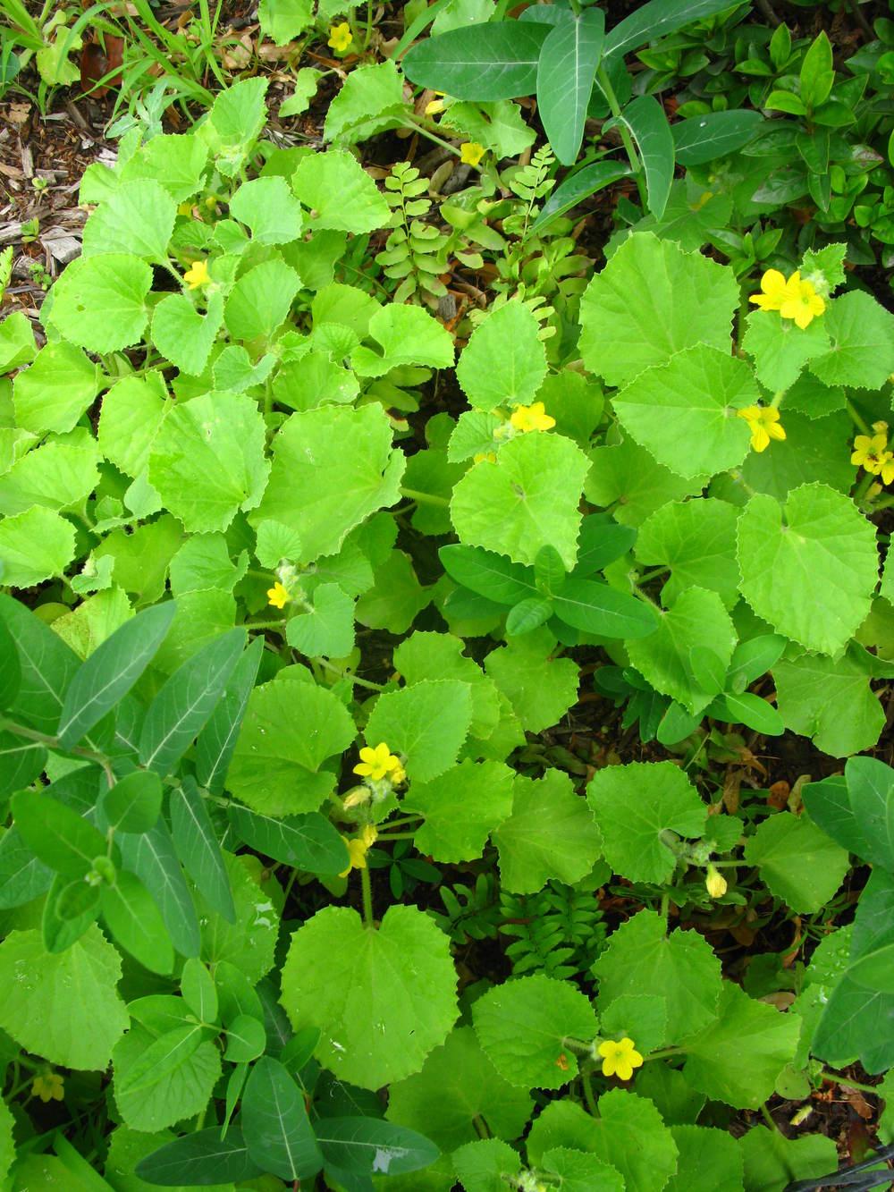 Cucumis meloCurcurbitaceae