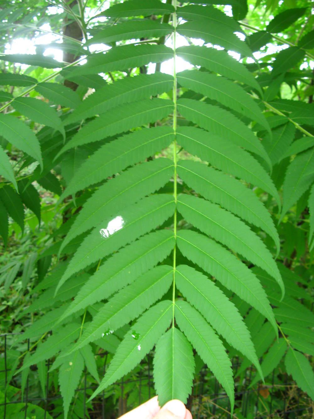 Rhus typhina Anacardiaceae