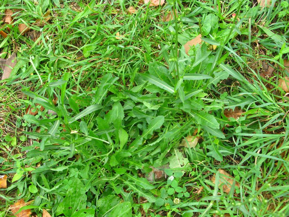 Cichorium intybusAsteraceae
