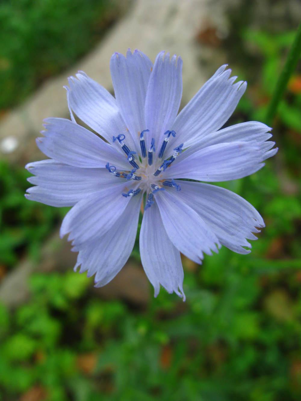 Cichorium intybus Asteraceae