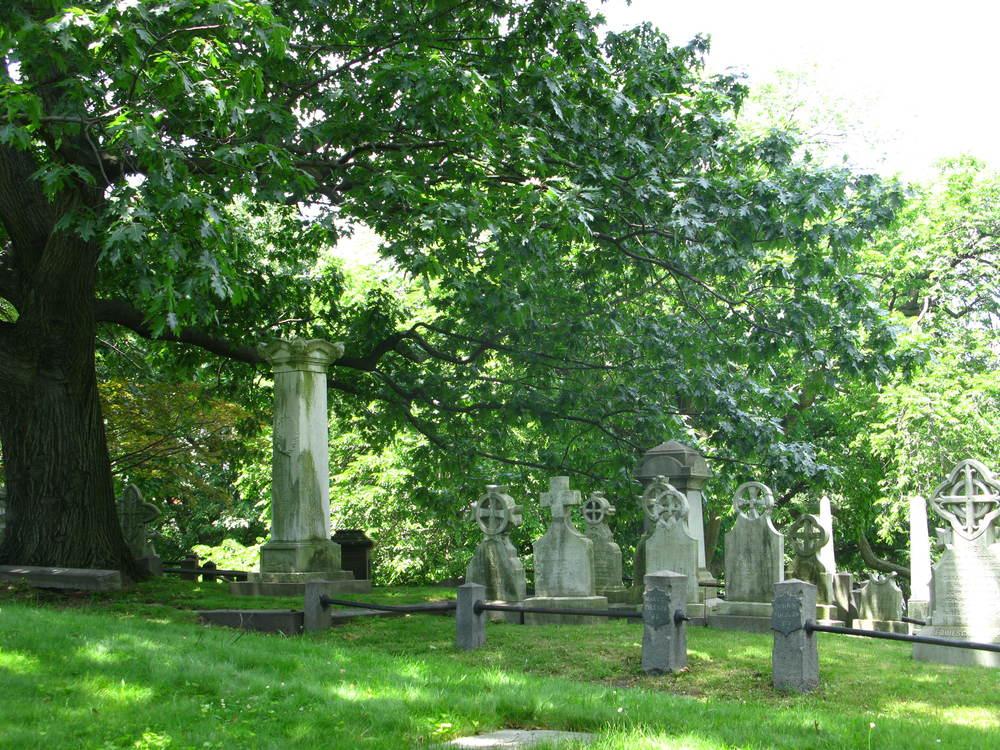 Quercus rubraFagaceae