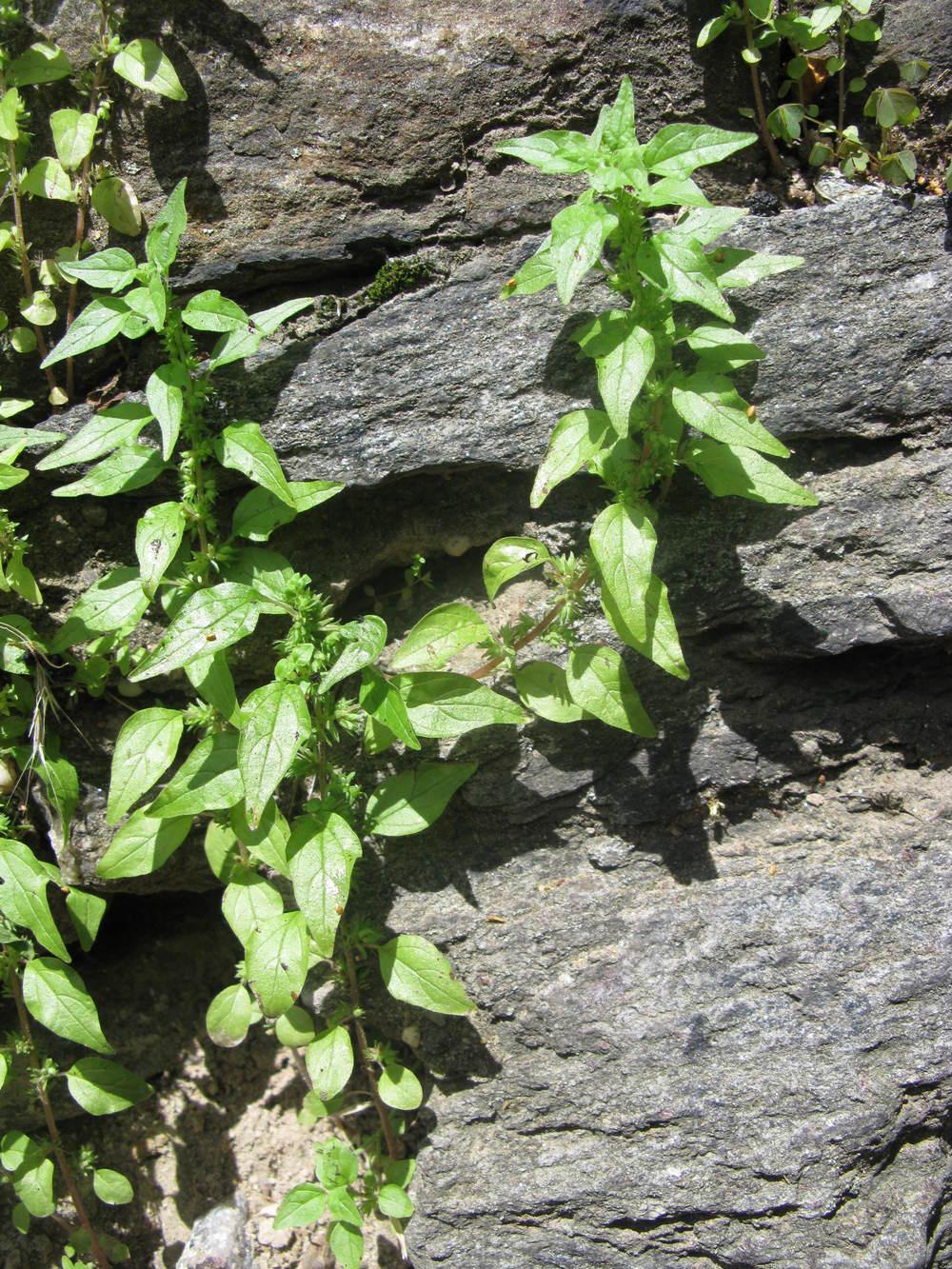 Parietaria pensylvanicaUrticaceae