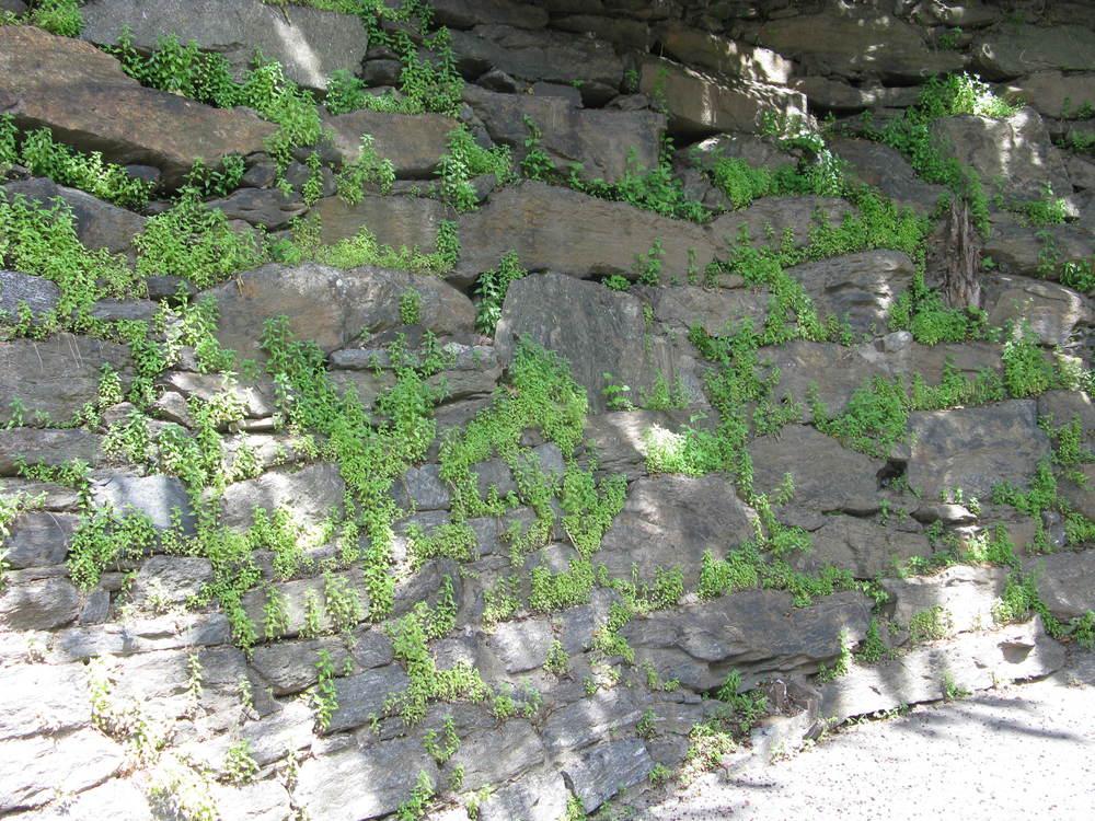 Parietaria pensylvanica Urticaceae